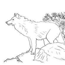Coloriages De Loups Coloriages Coloriage à Imprimer