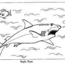 Coloriage : Requin blanc