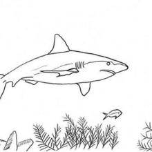 Coloriages requin marteau - Dessin de requin blanc ...