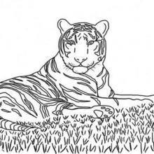 Coloriage d'un tigre