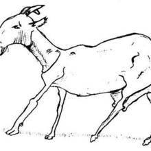 Coloriage d'une chèvre