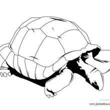 Coloriage d'une tortue éléphantine