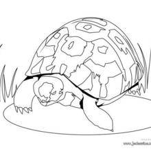 Coloriage d'une tortue herman