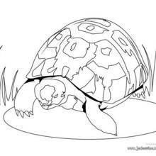 Coloriage d'une tortue herman