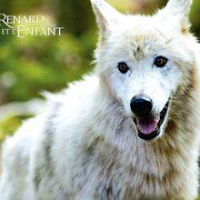 Fond d'écran : Le loup