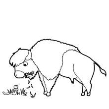 Bison qui broute