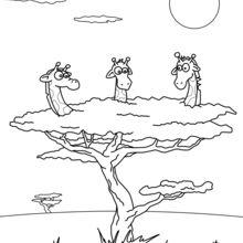 Trois girafes dans un arbre
