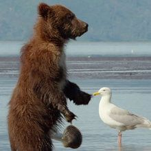 La lutte entre un Ours et une Palourde - Extrait de Grizzly