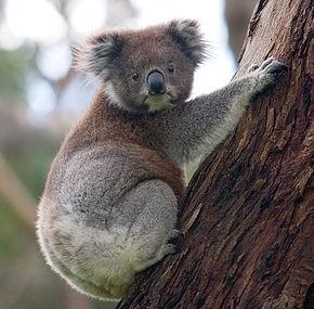 Reportage : Les animaux du monde : Le koala