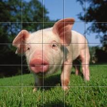 Puzzle Cochon