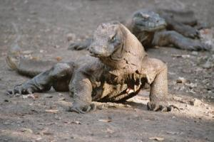 le-dragon-du-komodo