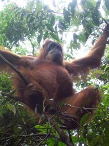 Galerie photos d'Orangs Outangs - Lecture - Reportages - Animaux