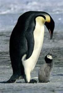 Contes pour enfants les pingouins lire - Apprendre a dessiner un pingouin ...