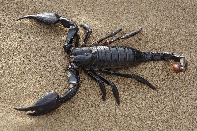 Le Scorpion du Sahara
