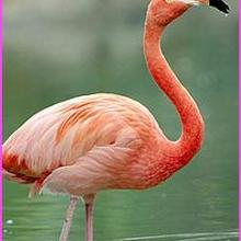 Le flamant rose