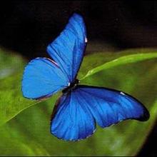 Les papillons tropicaux