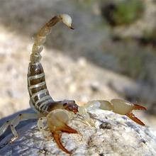 Reportage : Le Scorpion du Sahara