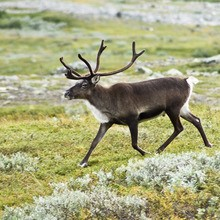 Les rennes du Père-Noël!