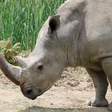 Le puissant rhinocéros noir