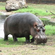 L'HIPPOPOTAME : le mastodonte des lacs et rivières !