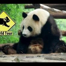Vidéo sur le panda géant