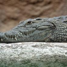 Vidéo sur les crocodiles