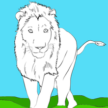 Coloriage : Le lion blanc