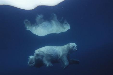 Record de nage libre : un ours polaire passe 10 jours d'affilée en mer