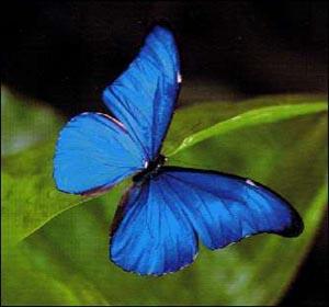 اجمل ما خلق الله تعالى Les-papillons-tropicaux-2731