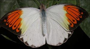 les-papillons-tropicaux