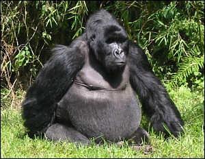 Les gorilles de montagne vivent en groupe dans une partie montagneuse