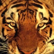 Coloriages De Tigres Coloriages Coloriage A Imprimer Gratuit